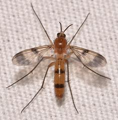 Neoempheria sp.