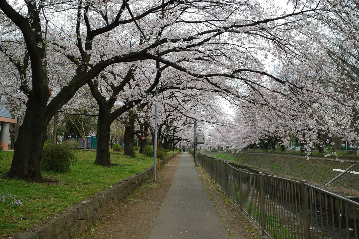 善福寺川緑地公園の桜並木