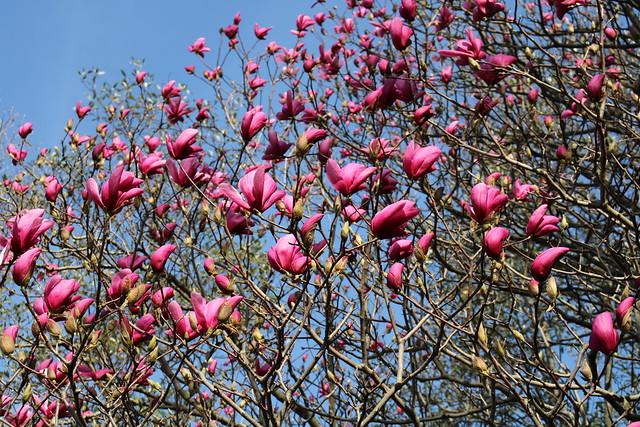 Cylburn Arboretum ~ Magnolia about to pop