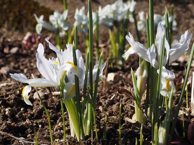Iris reticulata 'White Caucasus'