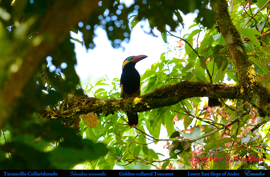 GOLDEN-COLLARED TOUCANET Selenidera reinwardtii on the Eastern Slope of Andes in Ecuador. Photo by Peter Wendelken.
