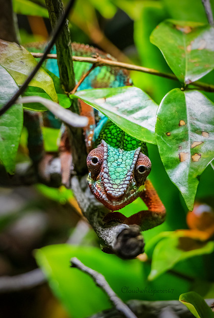 The Proud Chameleon - Berlin Zoo
