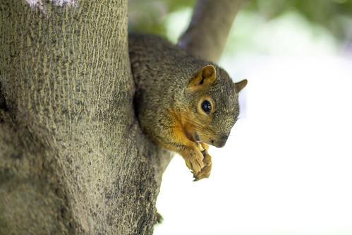 Squirrel_34536