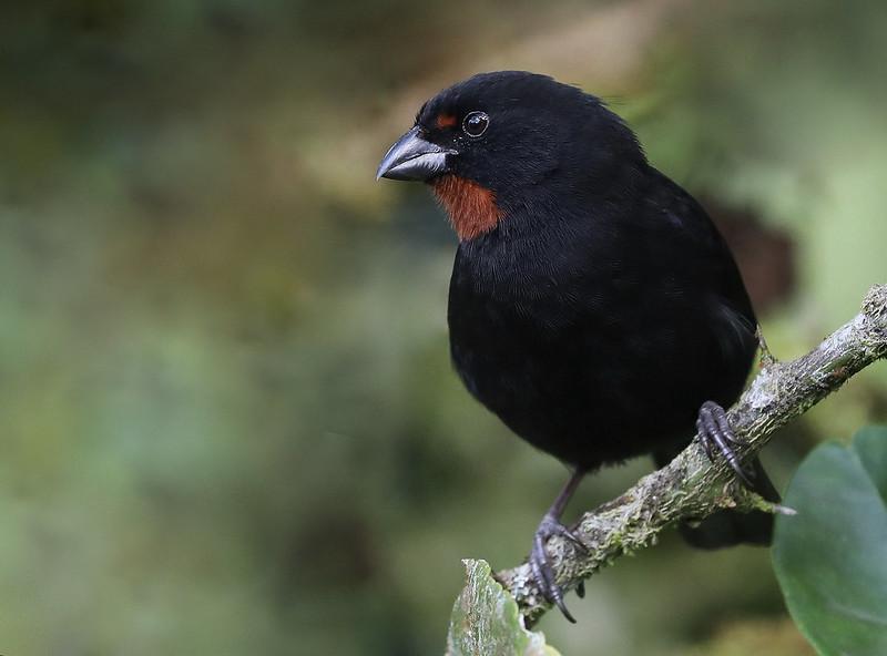 Lesser Antillean Bullfinch_Loxigilla noctis_Ascanio_Lesser Antilles_DZ3A1184