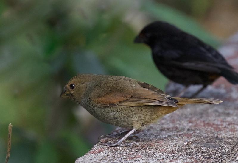 Lesser Antillean Bullfinch_Loxigilla noctis_Ascanio_Lesser Antilles_DZ3A0586