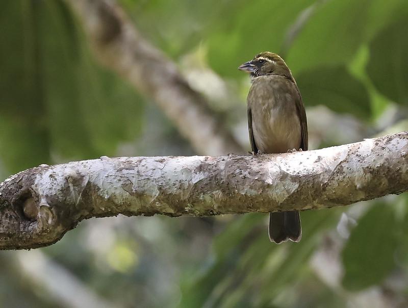 Lesser Antillean Saltator_Saltator albicollis_Ascanio_Lesser Antilles_DZ3A0887