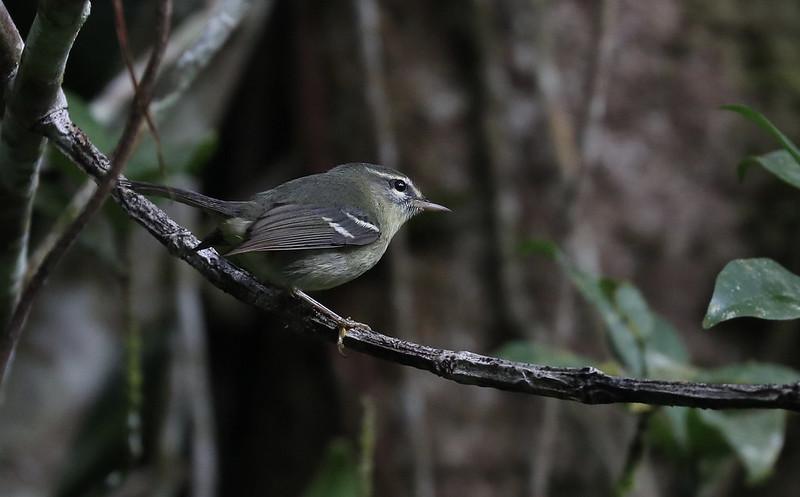 Plumbeous Warbler_Setophaga plumbea_Ascanio_Martinique_DZ3A0674