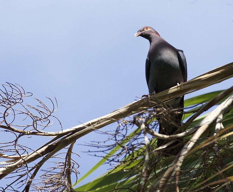 Scaly-naped Pigeon_Ptagioenas squamosa_Lesser Antilles_Ascanio_DZ3A0302