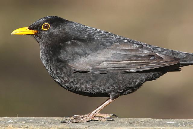 Blackbird at Eyeworth Pond, New Forest
