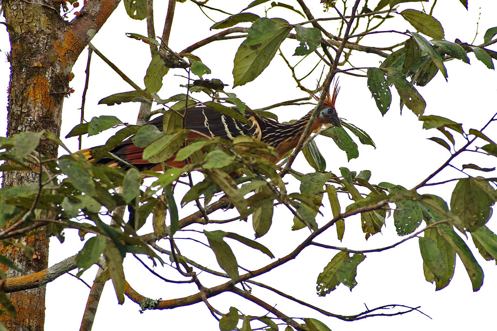 Hoatzin (Opisthocomus hoazin) at Sacha Lodge by  Río Napo, Ecuador.