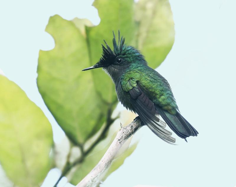 Antillean Crested Hummingbird_Orthorhyncus cristatus_Ascanio_Lesser Antilles_DZ3A1053
