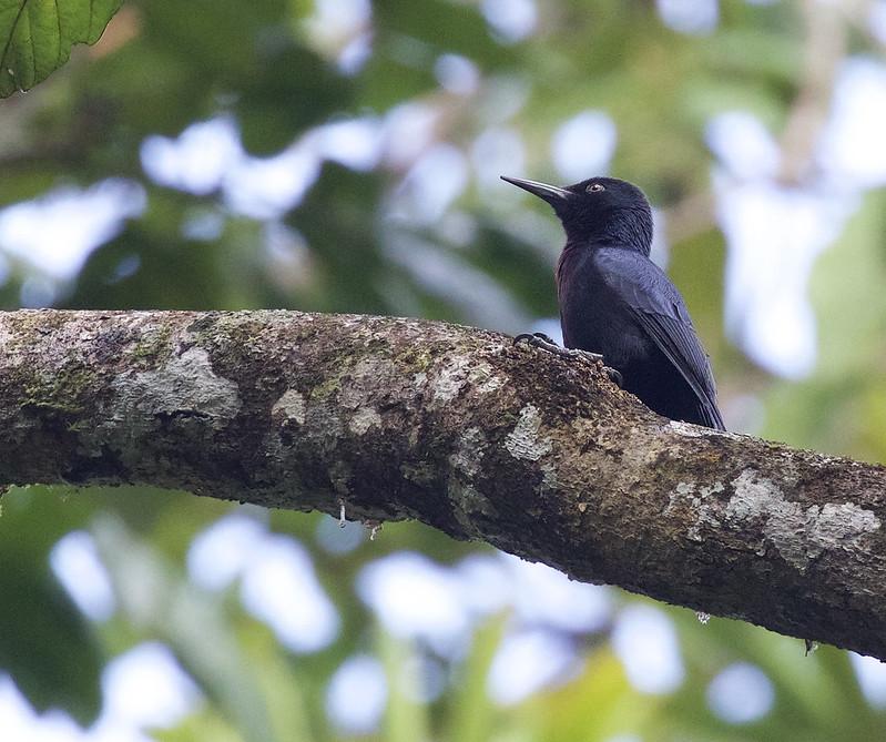 Guadeloupe Woodpecker_Melanerpes herminieri_Ascanio_Lesser Antilles_DZ3A0711