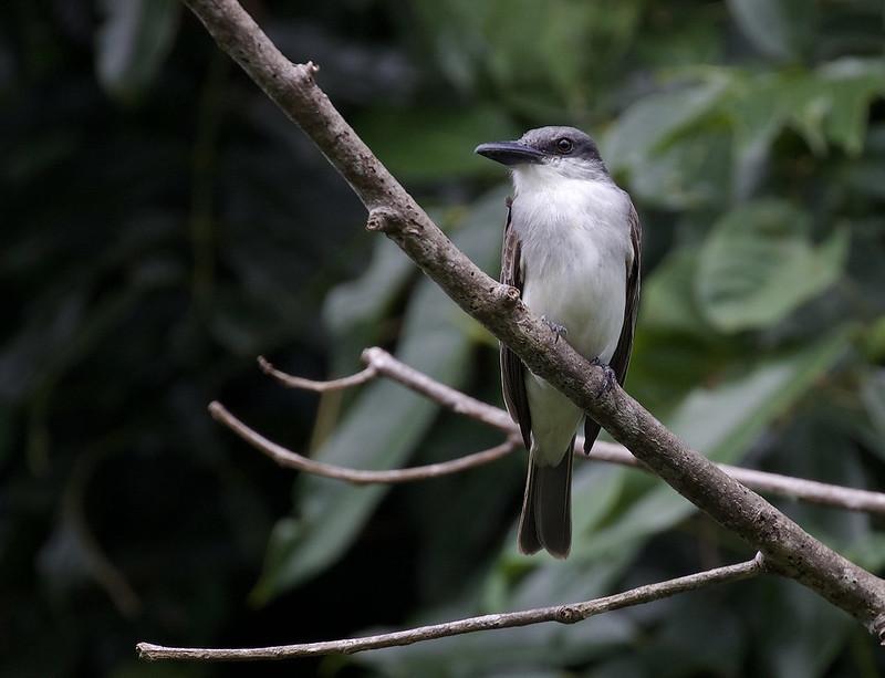 Gray kingbird_Tyrannus dominicensis_Ascanio_Lesser Antilles_DZ3A0567