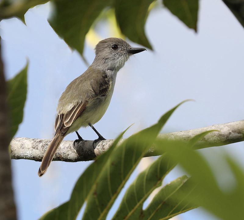 Lesser Antillean Flycatcher_Myiarchus oberi_Ascanio_Lesser Antilles_DZ3A1029