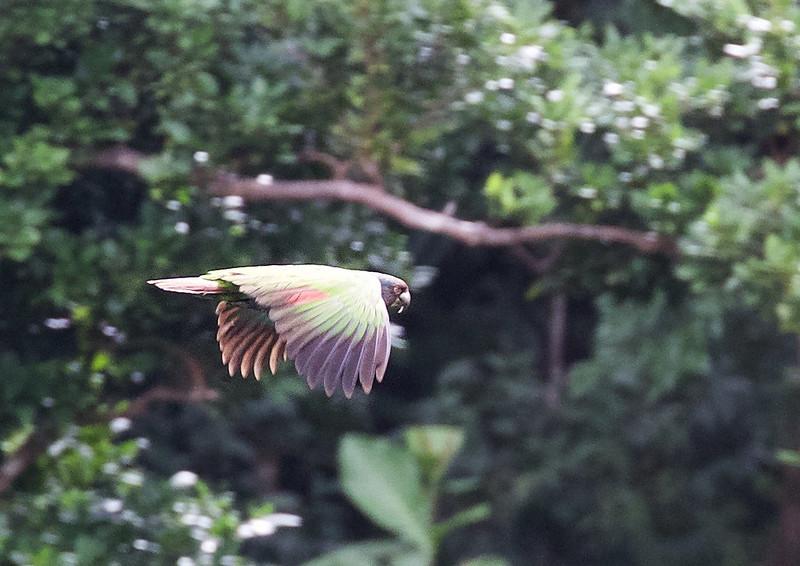 Imperial Parrot_Amazona imperialis_Ascanio_Lesser Antilles_DZ3A0437