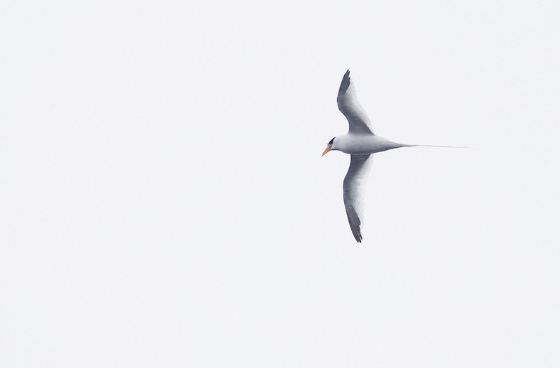 White-tailed Tropicbird_Phaethon lepturus_Caribbean Sea_Lesser Antilles_DZ3A0408