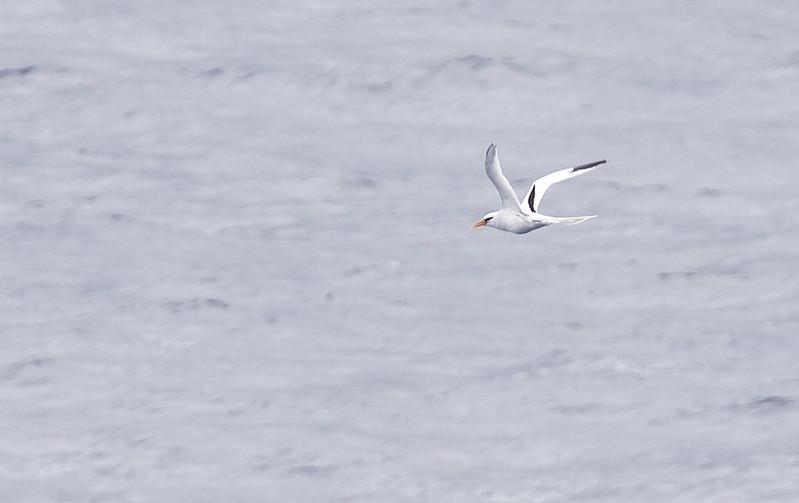 White-tailed Tropicbird_Phaethon lepturus_Caribbean Sea_Lesser Antilles_DZ3A0363