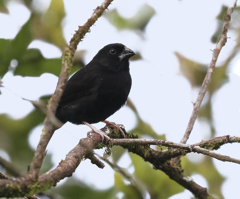 St. Lucia Black Finch_Melanospiza richardsoni_St Lucia_Ascanio_DZ3A1100