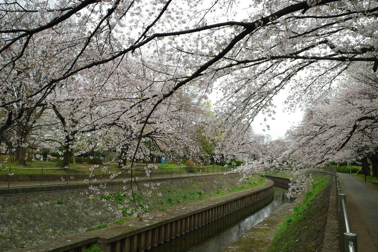 善福寺川緑地公園 満開の桜