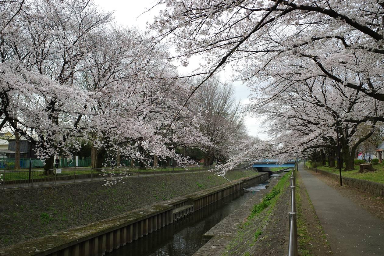 善福寺川の桜(満開)