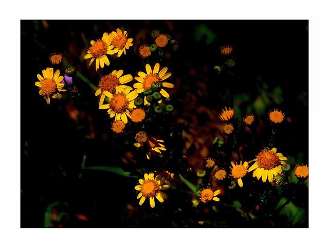 Polne kwiaty.