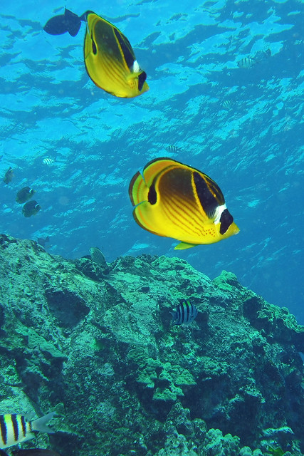 butterflyfish butts