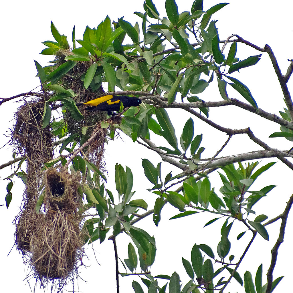 Yellow-rumped Cacique (Cacicus cela) by its nest. The vicinity of Sacha Lodge at  Río Napo, Ecuador.