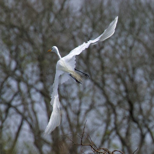 greategret ardeaalba flight square trees longpointranch richmond texas