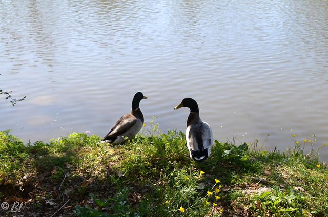 Compères Colverts : Les sentiers sont vides, l'air est pur, l'herbe verte, le lac poissonneux... Une vie de canard, loin du confinement