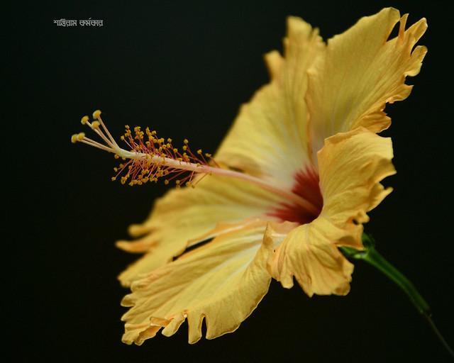 Yellow Hibiscuss 3