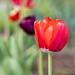 Vivid Tulip, 3.13.20