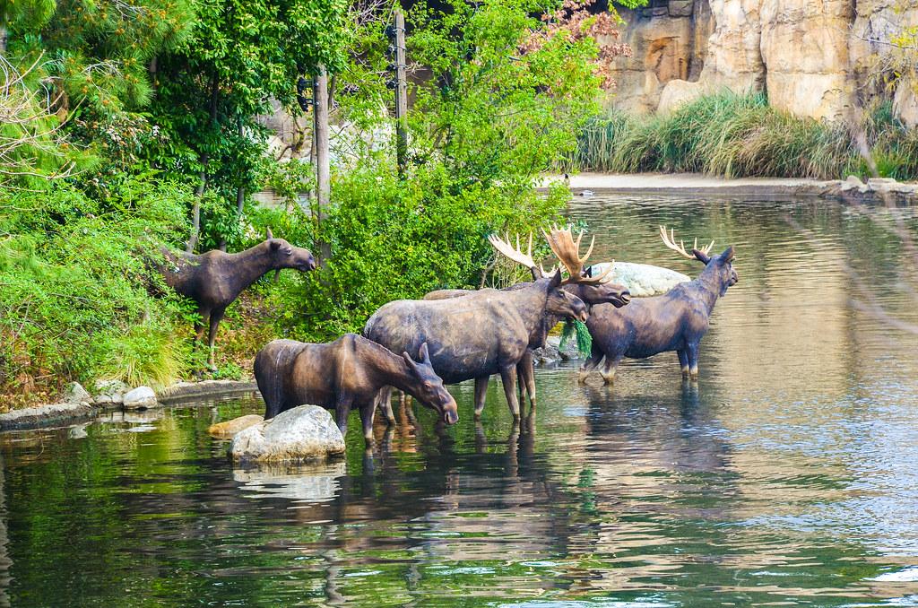 ROA Moose