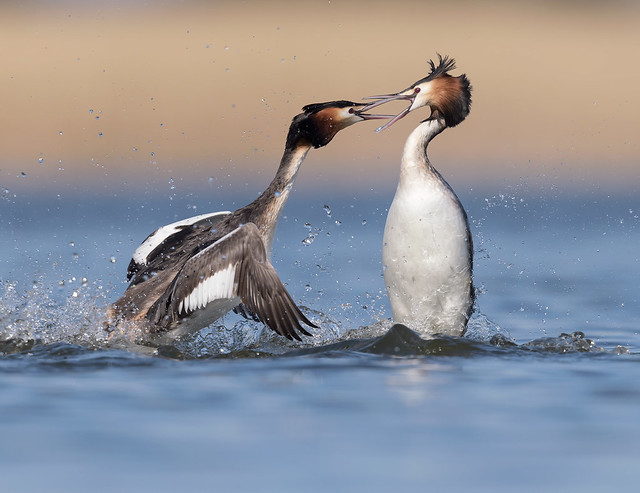Fuut, Great Crested Grebe