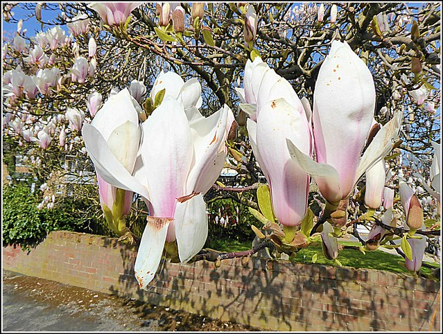 Two Magnolia Flowers ..