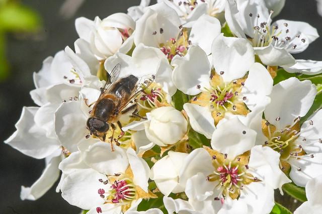 Syrphe sur des fleurs de poirier   --  Hoverfly on pear flowers
