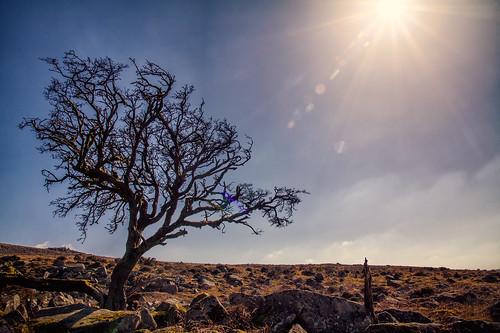 belstone belstonetor lonelytree hawthorne backlight sunshine sun sunburst granite landscape dartmoor moorland bluesky mothersday uk devon canon eos50d tamron 1750mm barren