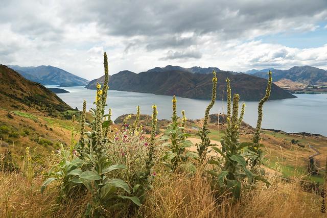 New Zealand / Lupins at Lake Wanaka