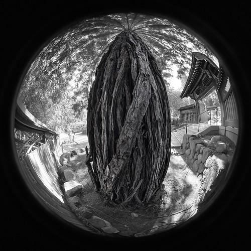 saratoga california siliconvalley usa sanfranciscobay sanfranciscobayarea southbay hakonegardens japanesegarden garden tree bark treebark lines texture patterns gate outdoor wideanglelens circle fisheye circularfisheye fisheyelens circularfisheyelens monochrome blackandwhite sony a6000sony a6000 laowa4mmf28 laowa4mmf28fisheye 3xp raw photomatix hdr qualityhdr qualityhdrphotography fav100