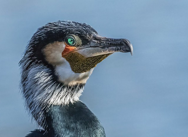 Cormorant all dressed up looking for love
