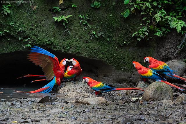 Scarlet Macaw (Ara-macao)