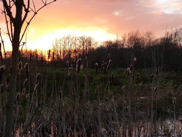 Cattails and Sunset