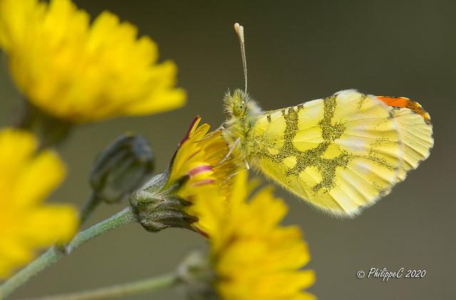 papillon l'Aurore