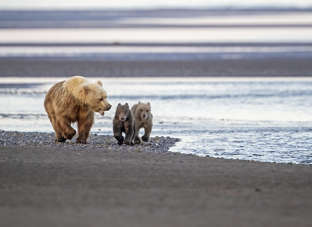 Scolding her cubs...