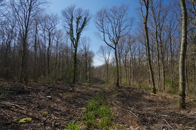 A woodland walk. Coppicing and clearance.
