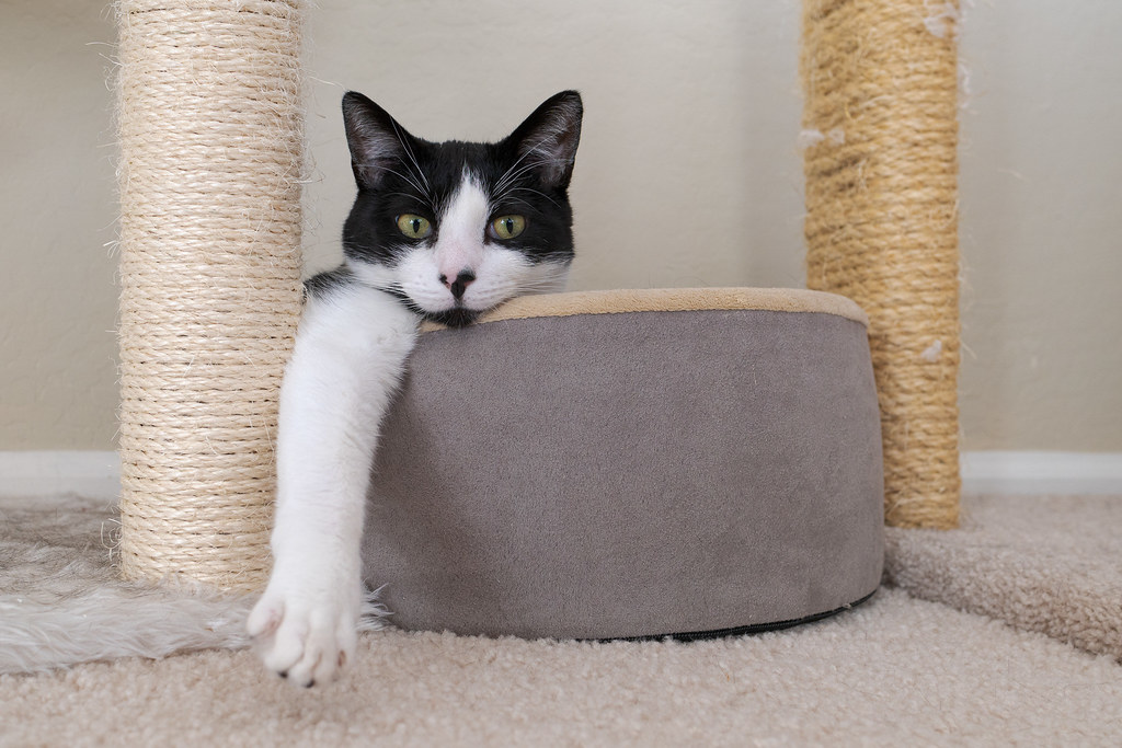 Our cat Boo rests with one arm sticking out of a cat bed nestled at the base of the cat tree in our living room in December 2019