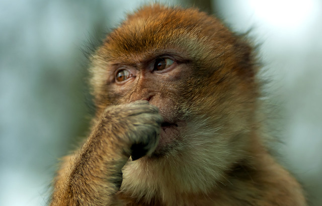 macaque thoughts..