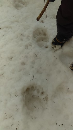 bear tracks near R's foot