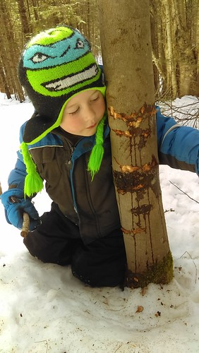 bear teeth on sugar maple_bear was enjoying maple sap