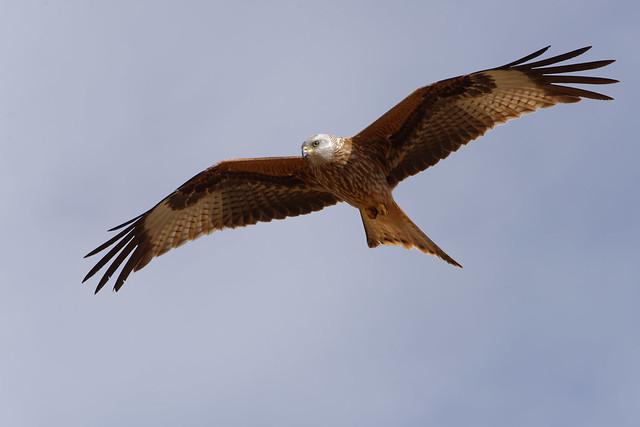 Milan royal - Milvus milvus - Red Kite