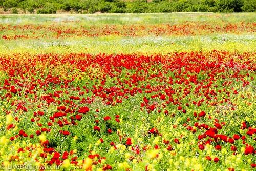 A sea of poppies. From A Hidden Gem in Southeastern Turkey: Visit Şanlıurfa